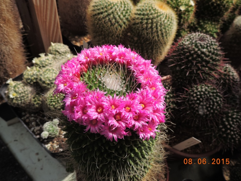 Cacti and Sukkulent in Köln, every day new flowers in the greenhouse Part 128 Bild_475