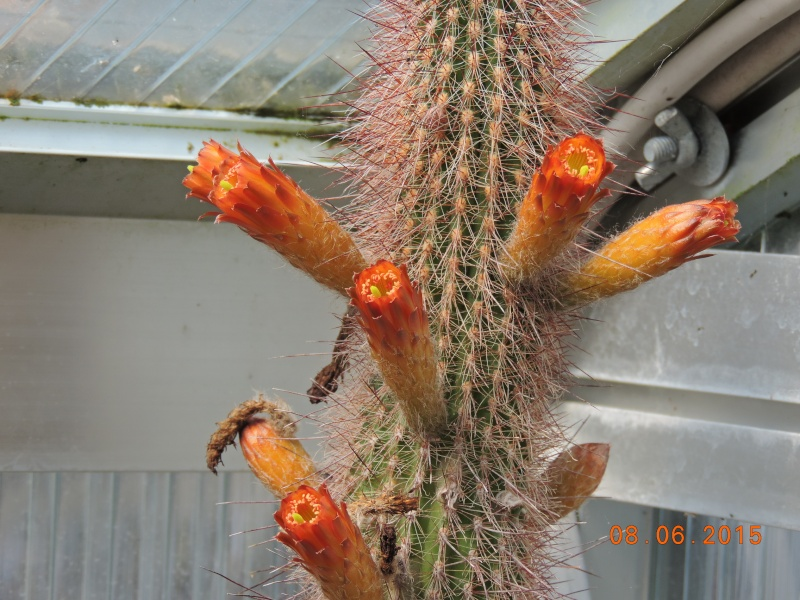 Cacti and Sukkulent in Köln, every day new flowers in the greenhouse Part 128 Bild_490