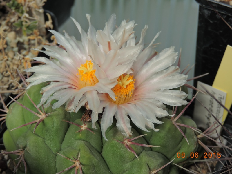 Cacti and Sukkulent in Köln, every day new flowers in the greenhouse Part 128 Bild_496