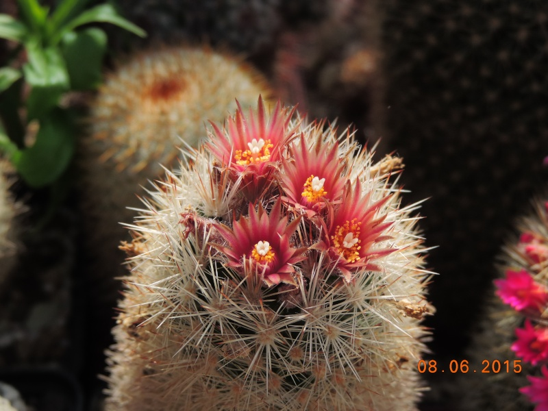 Cacti and Sukkulent in Köln, every day new flowers in the greenhouse Part 128 Bild_501