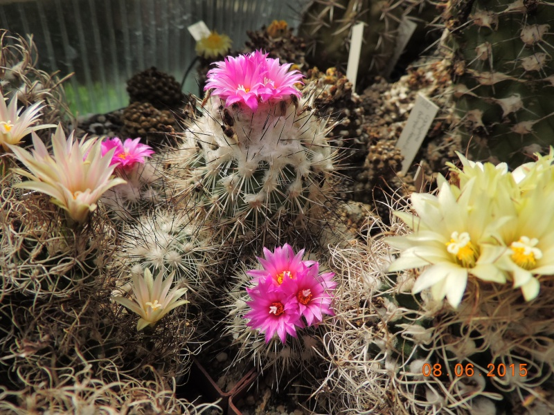 Cacti and Sukkulent in Köln, every day new flowers in the greenhouse Part 128 Bild_505