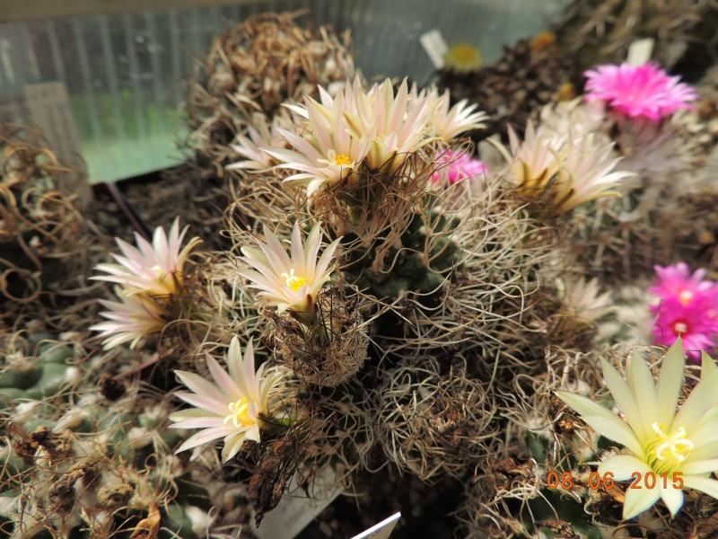 Cacti and Sukkulent in Köln, every day new flowers in the greenhouse Part 128 Bild_506