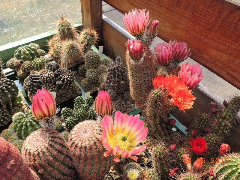 Cacti and Sukkulent in Köln, every day new flowers in the greenhouse Part 128 Bild_517