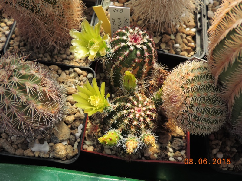 Cacti and Sukkulent in Köln, every day new flowers in the greenhouse Part 128 Bild_518