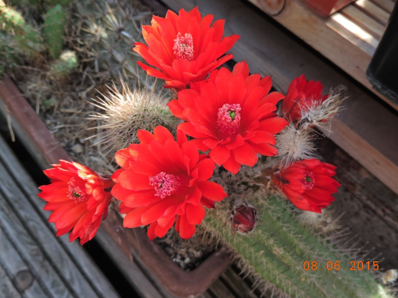 Cacti and Sukkulent in Köln, every day new flowers in the greenhouse Part 128 Bild_520