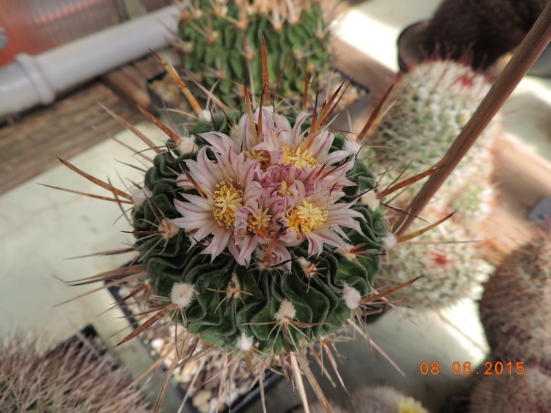 Cacti and Sukkulent in Köln, every day new flowers in the greenhouse Part 128 Bild_522