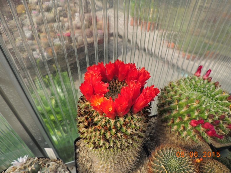 Cacti and Sukkulent in Köln, every day new flowers in the greenhouse Part 128 Bild_525