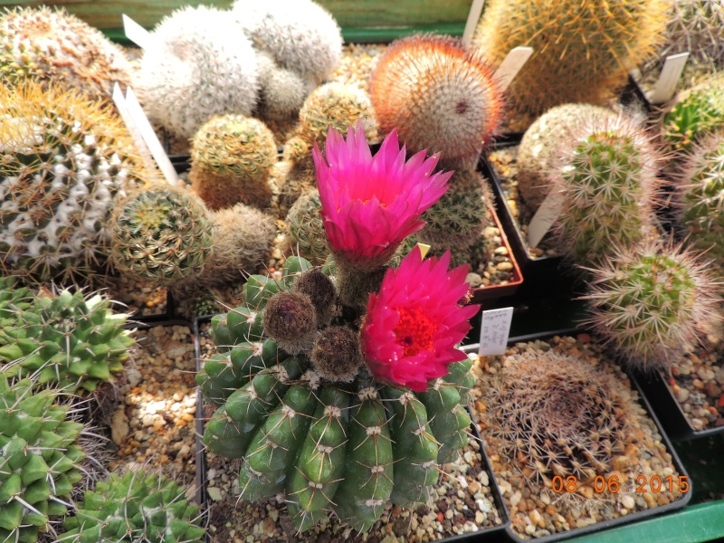Cacti and Sukkulent in Köln, every day new flowers in the greenhouse Part 128 Bild_526