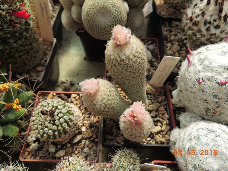 Cacti and Sukkulent in Köln, every day new flowers in the greenhouse Part 128 Bild_530