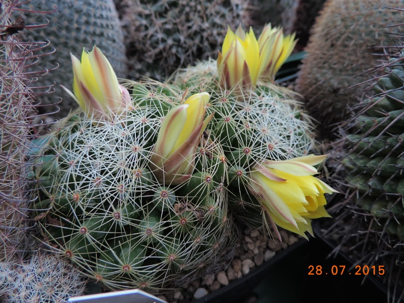 Cacti and Sukkulent in Köln, every day new flowers in the greenhouse Part 128 Bild_532