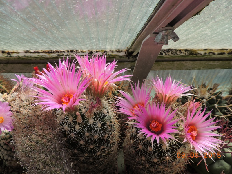 Cacti and Sukkulent in Köln, every day new flowers in the greenhouse Part 128 Bild_540