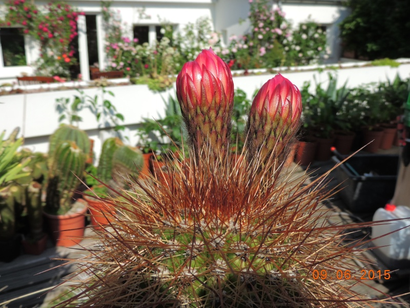 Cacti and Sukkulent in Köln, every day new flowers in the greenhouse Part 128 Bild_544