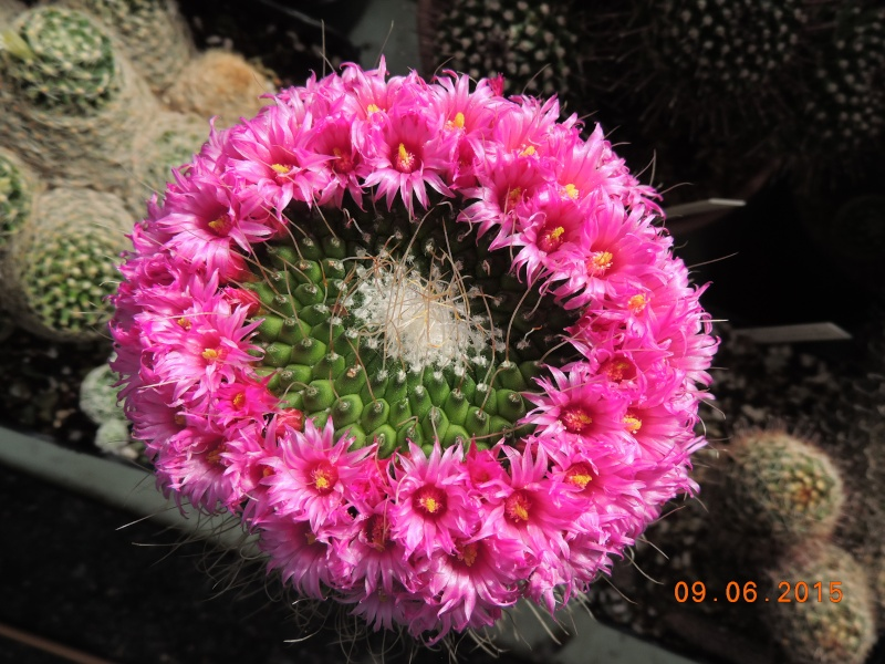 Cacti and Sukkulent in Köln, every day new flowers in the greenhouse Part 128 Bild_550