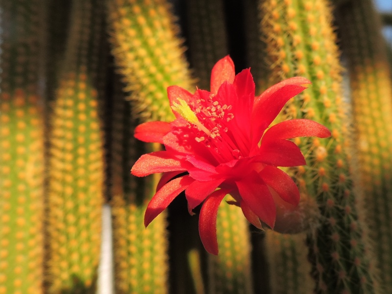 Cacti and Sukkulent in Köln, every day new flowers in the greenhouse Part 129 Bild_580