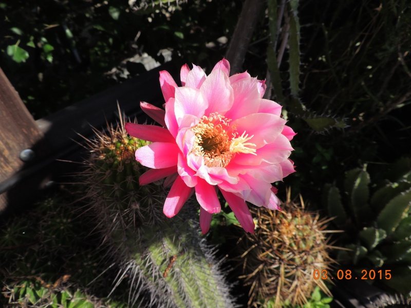 Cacti and Sukkulent in Köln, every day new flowers in the greenhouse Part 129 Bild_581