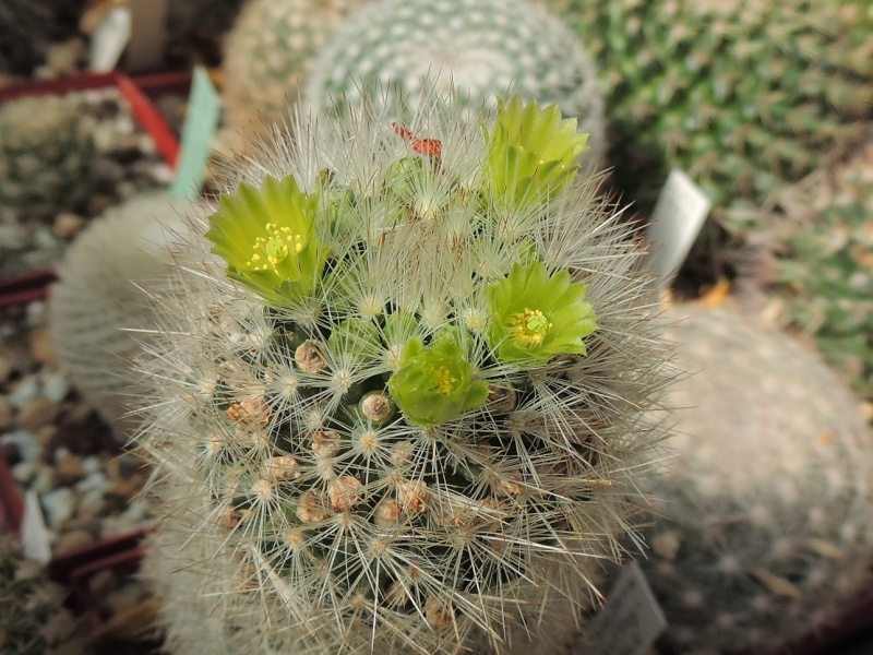 Cacti and Sukkulent in Köln, every day new flowers in the greenhouse Part 129 Bild_584