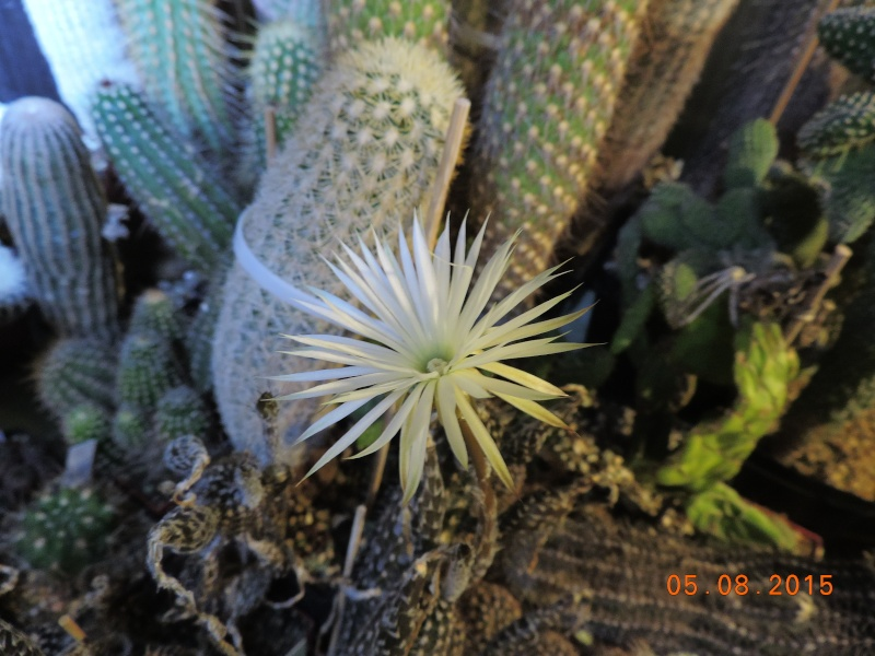 Cacti and Sukkulent in Köln, every day new flowers in the greenhouse Part 129 Bild_586