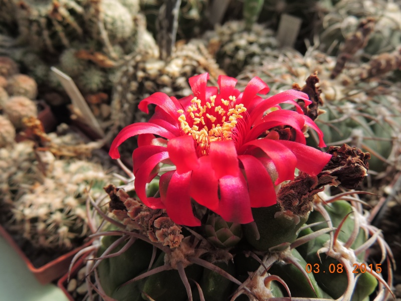 Cacti and Sukkulent in Köln, every day new flowers in the greenhouse Part 129 Bild_587
