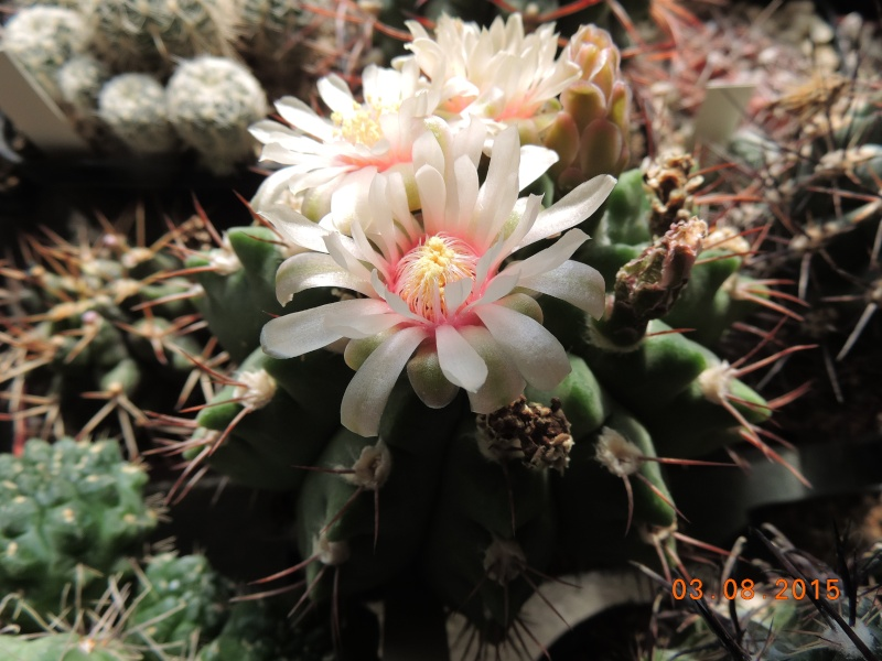 Cacti and Sukkulent in Köln, every day new flowers in the greenhouse Part 129 Bild_588