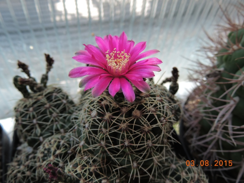 Cacti and Sukkulent in Köln, every day new flowers in the greenhouse Part 129 Bild_589