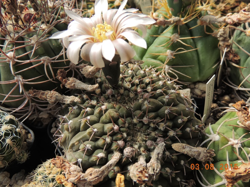 Cacti and Sukkulent in Köln, every day new flowers in the greenhouse Part 129 Bild_590