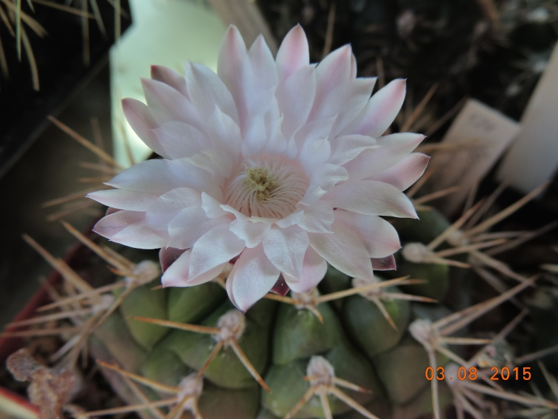 Cacti and Sukkulent in Köln, every day new flowers in the greenhouse Part 129 Bild_591