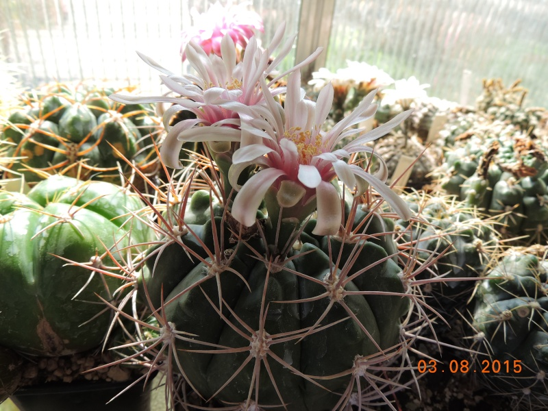 Cacti and Sukkulent in Köln, every day new flowers in the greenhouse Part 129 Bild_592