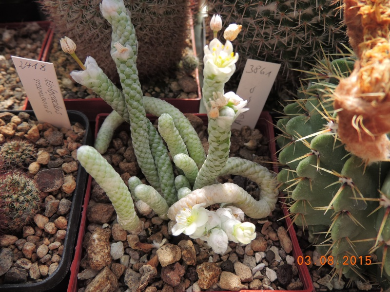 Cacti and Sukkulent in Köln, every day new flowers in the greenhouse Part 129 Bild_593