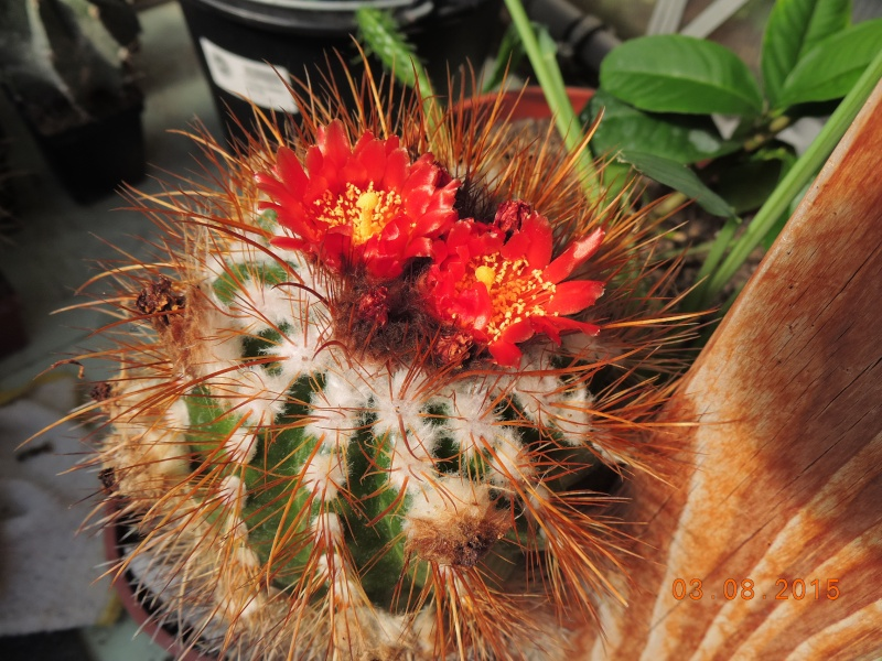 Cacti and Sukkulent in Köln, every day new flowers in the greenhouse Part 129 Bild_597