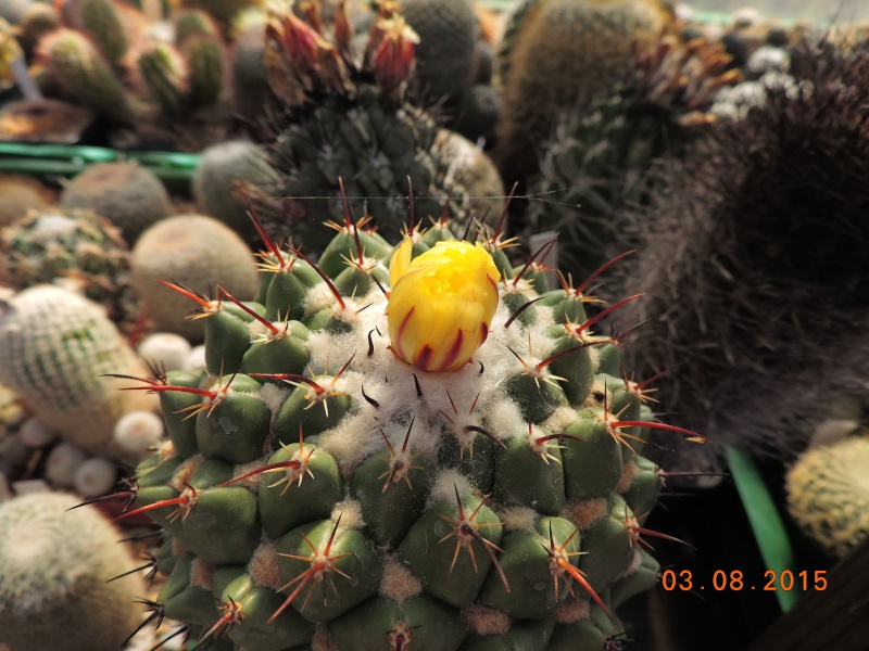 Cacti and Sukkulent in Köln, every day new flowers in the greenhouse Part 129 Bild_608
