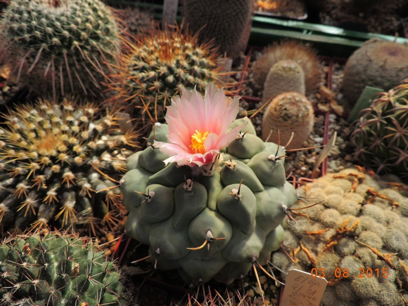 Cacti and Sukkulent in Köln, every day new flowers in the greenhouse Part 129 Bild_609