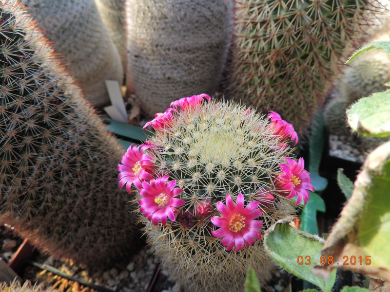Cacti and Sukkulent in Köln, every day new flowers in the greenhouse Part 129 Bild_611
