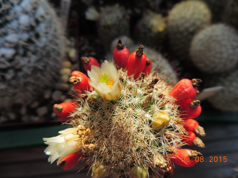 Cacti and Sukkulent in Köln, every day new flowers in the greenhouse Part 129 Bild_612