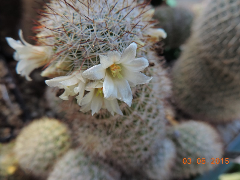 Cacti and Sukkulent in Köln, every day new flowers in the greenhouse Part 129 Bild_613