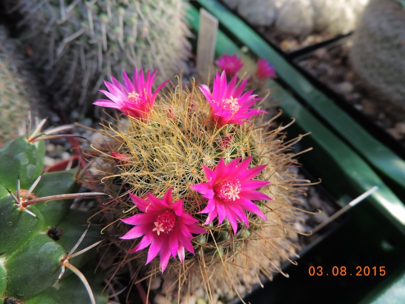 Cacti and Sukkulent in Köln, every day new flowers in the greenhouse Part 129 Bild_614