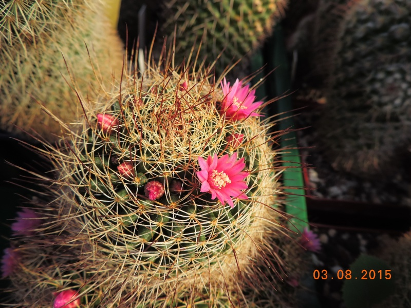 Cacti and Sukkulent in Köln, every day new flowers in the greenhouse Part 129 Bild_615