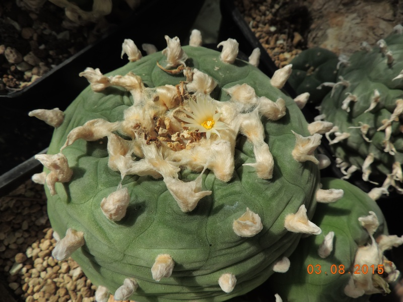 Cacti and Sukkulent in Köln, every day new flowers in the greenhouse Part 129 Bild_618