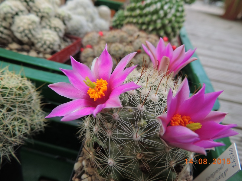 Cacti and Sukkulent in Köln, every day new flowers in the greenhouse Part 129 Bild_625
