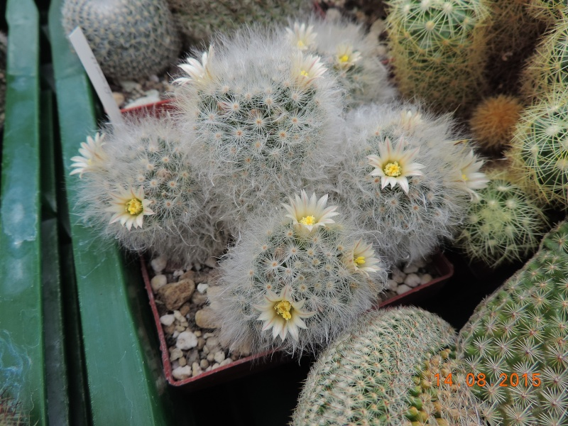 Cacti and Sukkulent in Köln, every day new flowers in the greenhouse Part 129 Bild_626