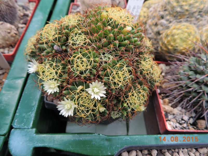 Cacti and Sukkulent in Köln, every day new flowers in the greenhouse Part 129 Bild_627