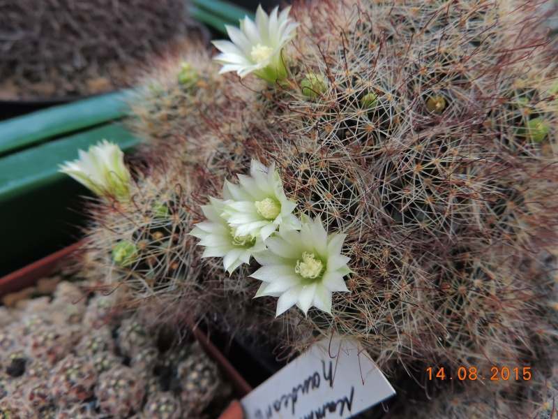 Cacti and Sukkulent in Köln, every day new flowers in the greenhouse Part 129 Bild_629