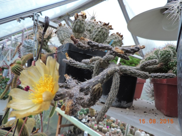 Cacti and Sukkulent in Köln, every day new flowers in the greenhouse Part 129 Bild_631