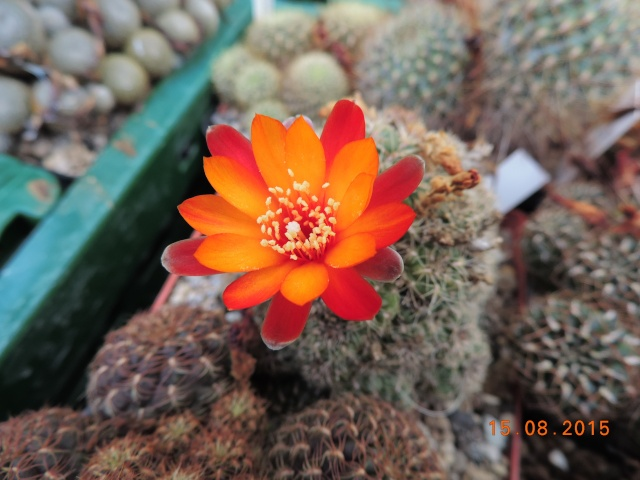 Cacti and Sukkulent in Köln, every day new flowers in the greenhouse Part 129 Bild_633