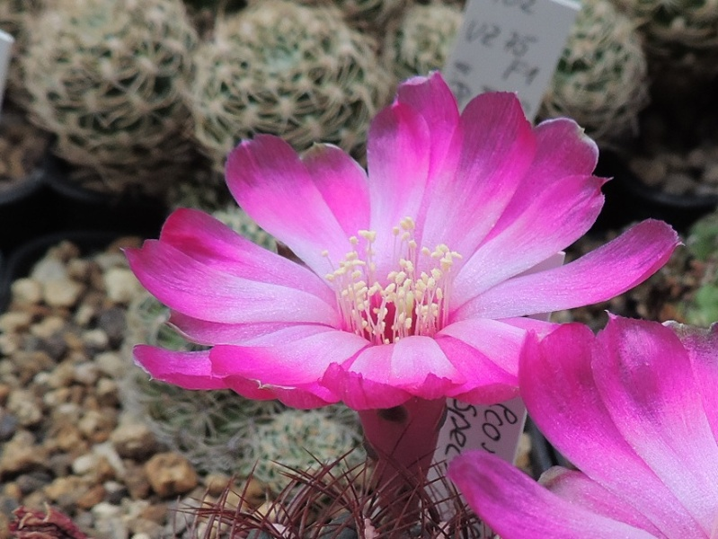 Cacti and Sukkulent in Köln, every day new flowers in the greenhouse Part 129 Bild_634