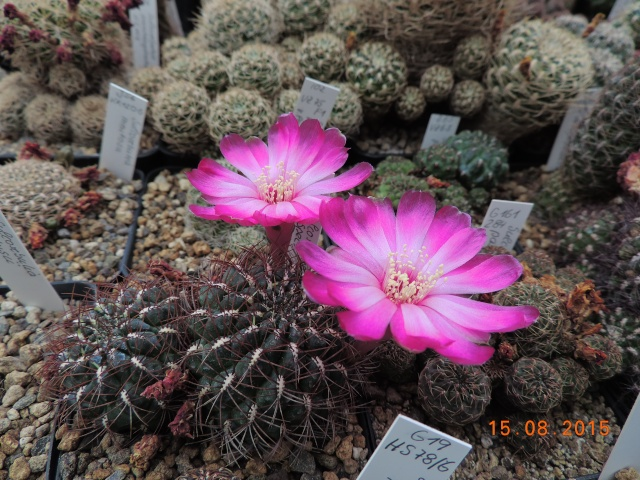 Cacti and Sukkulent in Köln, every day new flowers in the greenhouse Part 129 Bild_635