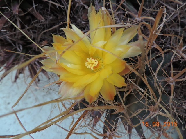 Cacti and Sukkulent in Köln, every day new flowers in the greenhouse Part 129 Bild_645