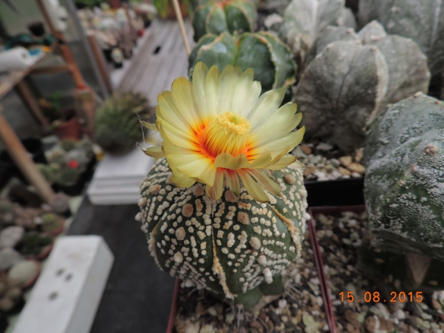 Cacti and Sukkulent in Köln, every day new flowers in the greenhouse Part 129 Bild_647