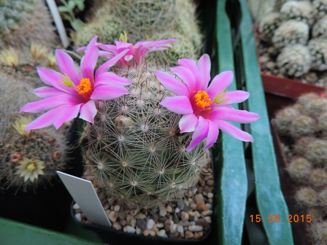 Cacti and Sukkulent in Köln, every day new flowers in the greenhouse Part 129 Bild_649
