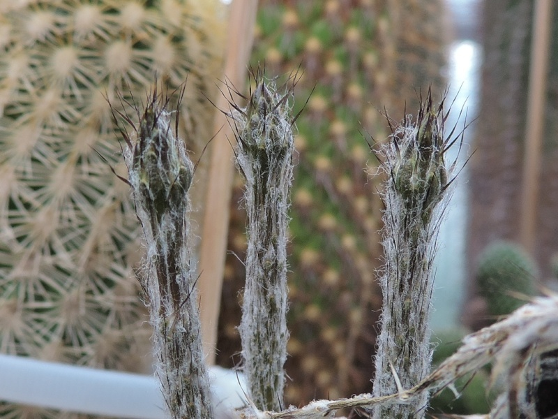Cacti and Sukkulent in Köln, every day new flowers in the greenhouse Part 129 Bild_650