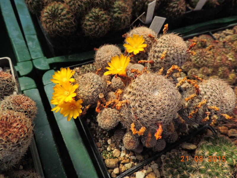 Cacti and Sukkulent in Köln, every day new flowers in the greenhouse Part 129 Bild_658